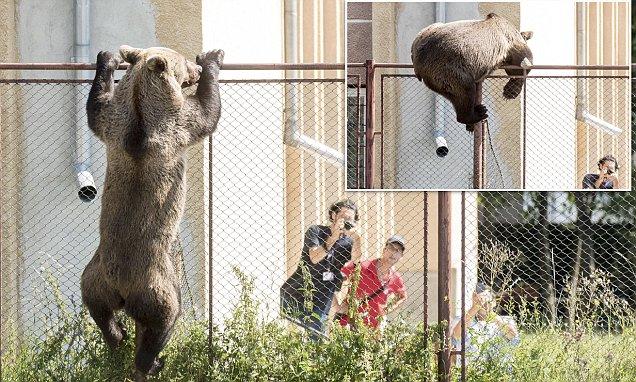 *COMPOSITE* Brown bear in Romania