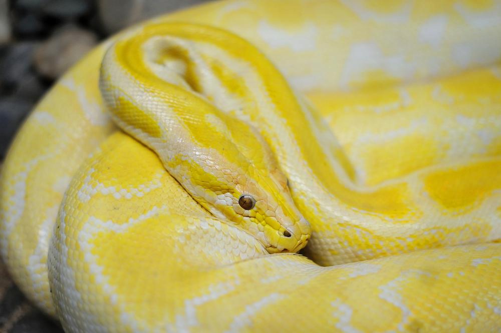 yellow-python