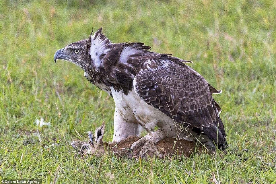 shqiponja5