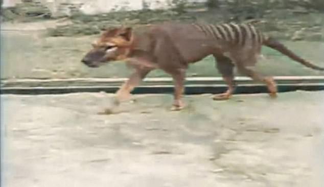tigri